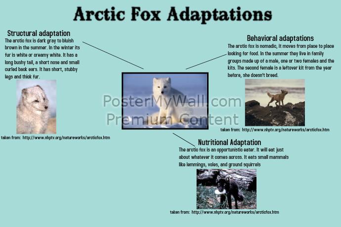 Arctic Fox Adaptations | PosterMyWall