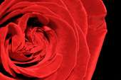 romantic poster background with a large red rose
