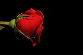 romantic red rose poster background